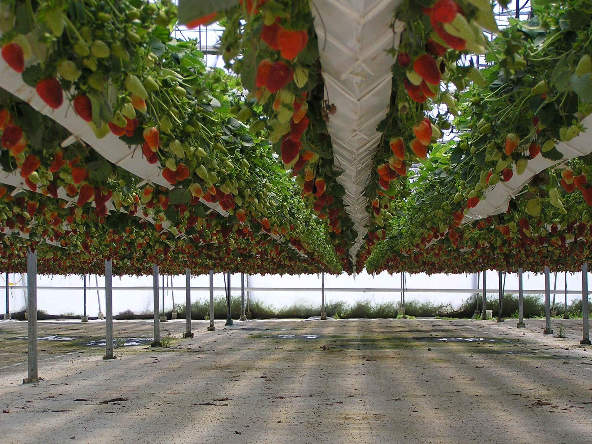 Cultivo hidroponico de morangos ecoeficientes for Imagenes de hidroponia