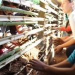 Bambu-a-Pique